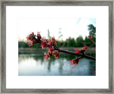 Framed Print featuring the photograph Red Maple Buds At Dawn by Kent Lorentzen