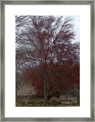 Red Maple Framed Print by Emily Kelley