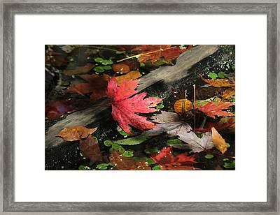 Framed Print featuring the photograph Red Maple Leaf In Pond by Doris Potter