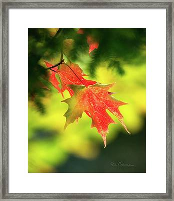 Red Maple Leaves 4983 Framed Print