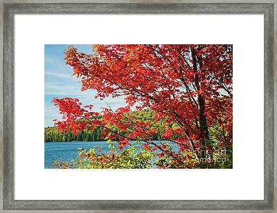 Red Maple On Lake Shore Framed Print by Elena Elisseeva