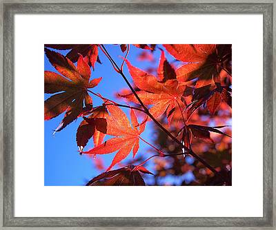 Red Maple Framed Print by Rona Black