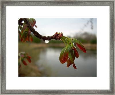 Red Maple Seed Pods At Dawn Framed Print