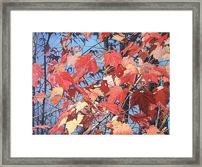 Red Maples Framed Print by - Harlan