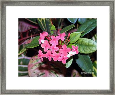 Framed Print featuring the photograph Red Maui Ixora by Terri Mills