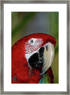 Red Mccaw Framed Print by Roger Mullenhour