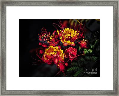 Red Mexican Bird Of Paradise Framed Print by Robert Bales