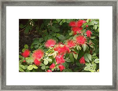 Red Mimosa Flowers Framed Print