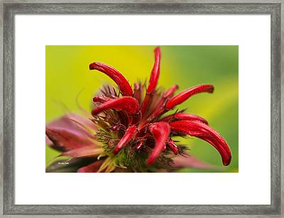 Red Monarda Flowers - Bee Balm Framed Print by Christina Rollo