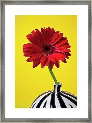 Red Mum Against Yellow Background Framed Print by Garry Gay