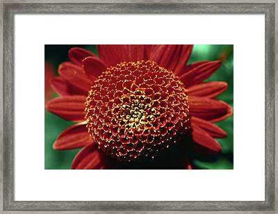 Red Mum Center Framed Print by Sally Weigand