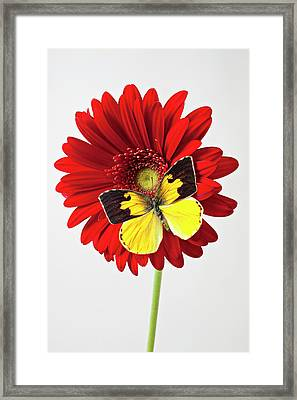 Red Mum With Dogface Butterfly Framed Print by Garry Gay