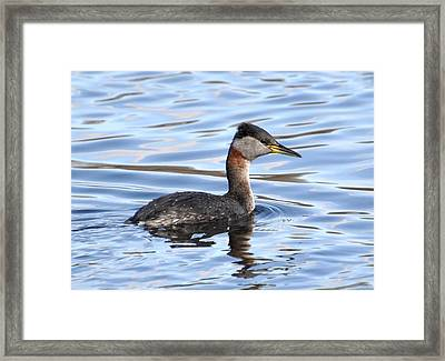 Red-necked Grebe Framed Print