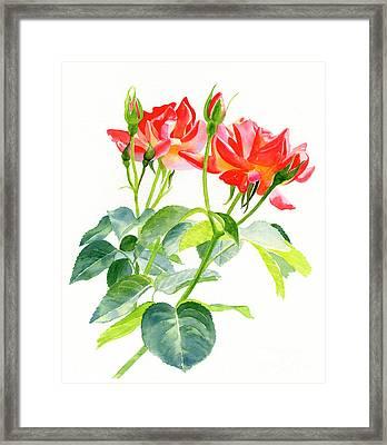 Red Orange Rose Blossoms With Buds Framed Print