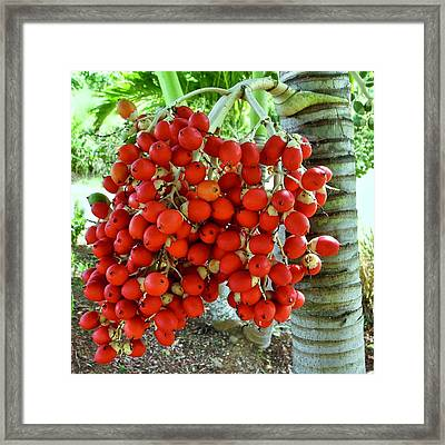 Red Palm Tree Fruit Framed Print by Kirsten Giving