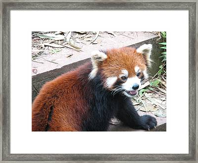 Red Panda Framed Print by Carla Parris