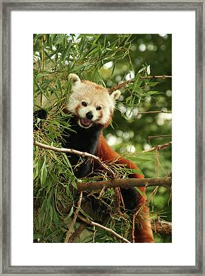 Red Panda Framed Print