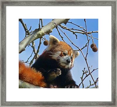 Red Panda Exploring Framed Print by Margaret Saheed