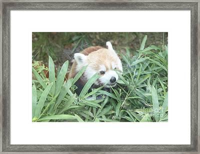 Red Panda Hiding Framed Print by John Telfer