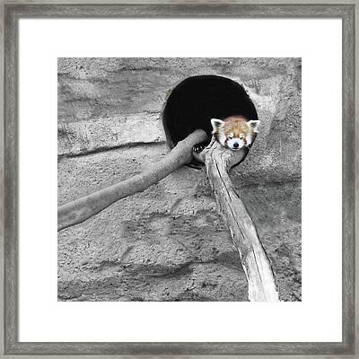 Red Panda Sleeping Framed Print by Brooke T Ryan