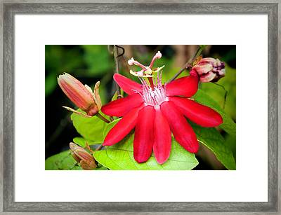 Red Passion Flower Framed Print