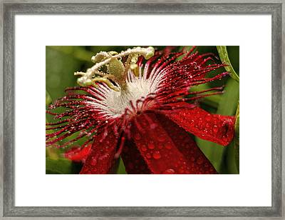 Red Passion Flower With Rain Drops Framed Print