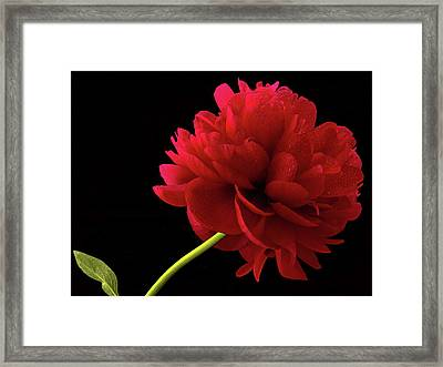Red Peony  Framed Print by Jean Noren