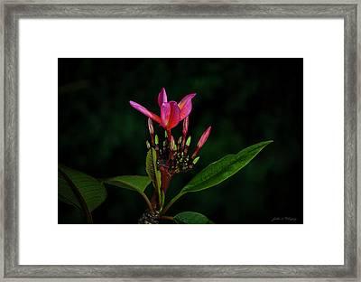 Red Plumeria Framed Print