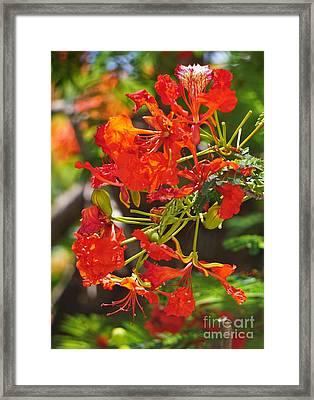 Red Poinciana  Framed Print by John Clark