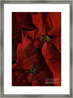 Red Poinsettia Framed Print by Ann Garrett