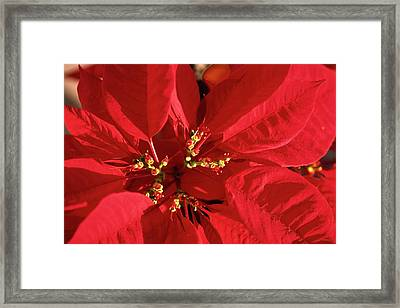 Red Poinsettia Macro Framed Print by Sally Weigand