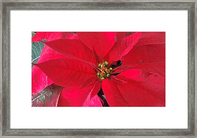 Red Poinsettia Framed Print