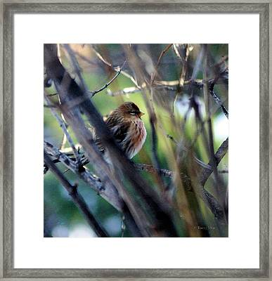 Red Poll, Resting Framed Print