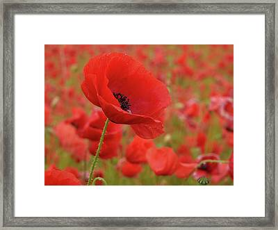 Red Poppies 3 Framed Print