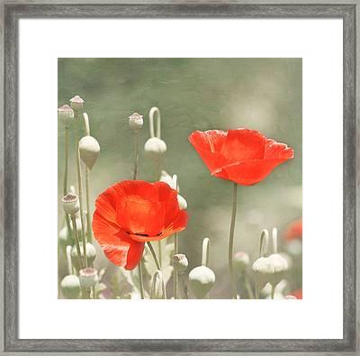 Red Poppies Framed Print by Kim Hojnacki