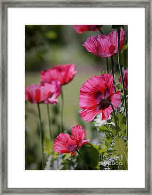 Red Poppies Framed Print by Lisa L Silva