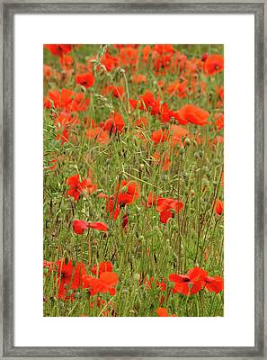 Red Poppies Framed Print by Wayne Molyneux