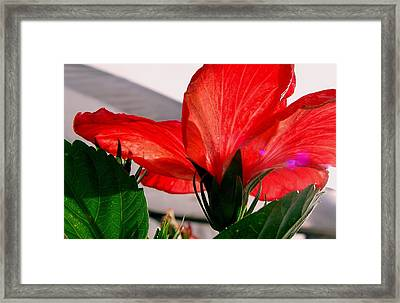 Red Poppy Framed Print by Robert Knight