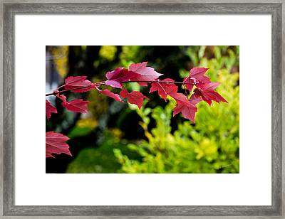 Red Red Maple Leaves Framed Print by Mick Anderson