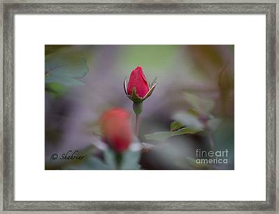 Red Red Rose Framed Print