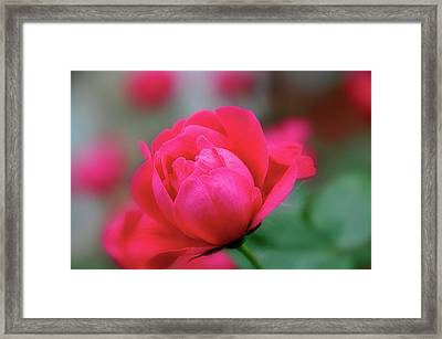 Red Red Rose Framed Print by Sheryl Thomas