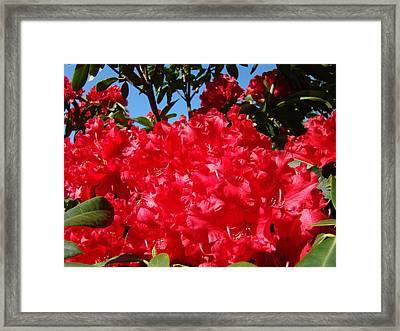Red Rhododendron Flowers Floral Art Prints Baslee Framed Print by Baslee Troutman