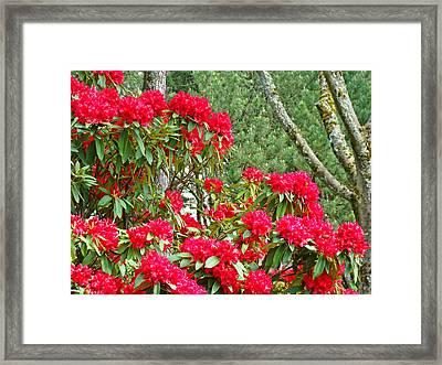 Red Rhododendron Garden Art Prints Rhodies Landscape Baslee Troutman Framed Print by Baslee Troutman