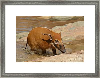 Red River Hog  Framed Print