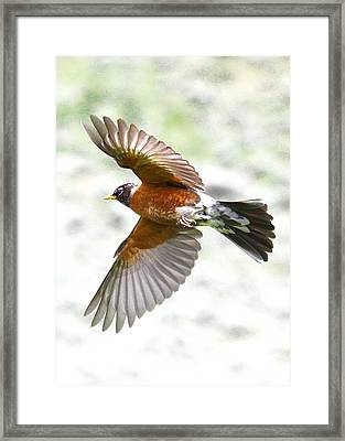 Red Robin In Flight Framed Print by Amy G Taylor