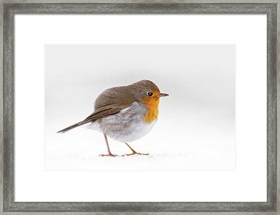 Red Robin In The White Snow Framed Print
