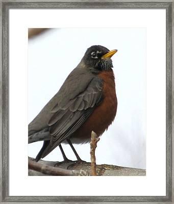 Red Robin Framed Print by Lisa Jayne Konopka