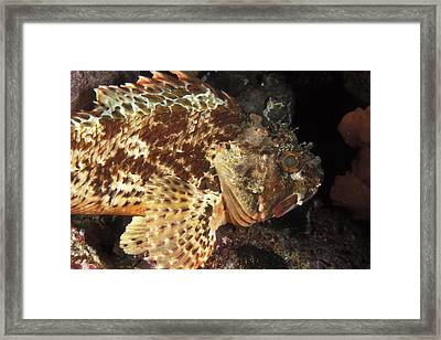 Red Rock Cod Fish. Scorpaena Papillosa Framed Print by James Forte