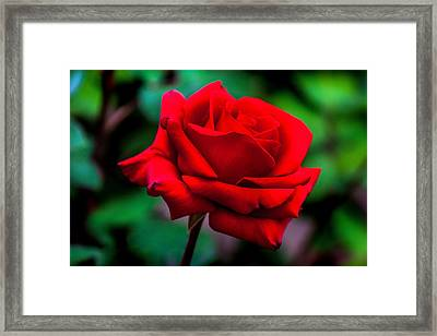 Red Rose 2 Framed Print by Az Jackson