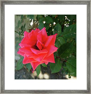 Pink Rose  Framed Print by Don Pedro De Gracia